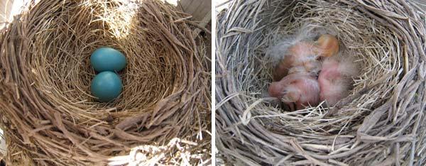 090517_robin_nest