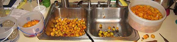 Apricots_August10